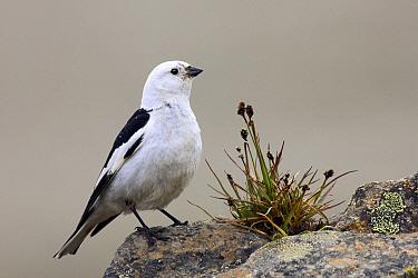 Snow Bunting (Plectrophenax nivalis) male, Svalbard, Norway  -  Jasper Doest