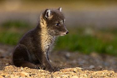 Arctic Fox (Alopex lagopus) kit, Svalbard, Norway  -  Jasper Doest