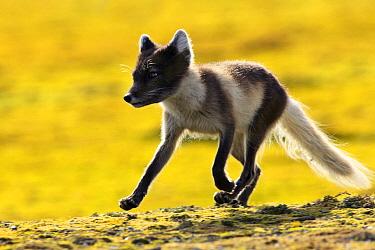 Arctic Fox (Alopex lagopus) running on the tundra, Svalbard, Norway  -  Jasper Doest