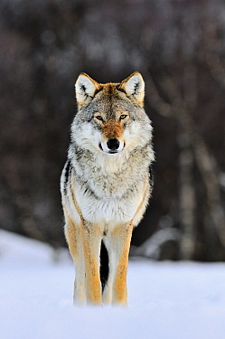 Gray Wolf (Canis lupus) standing in the snow, Norway  -  Jasper Doest