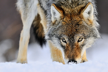 Gray Wolf (Canis lupus) sniffing in the snow, Norway  -  Jasper Doest