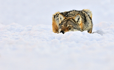 Gray Wolf (Canis lupus) lying flat in the snow with eyes closed, Norway  -  Jasper Doest
