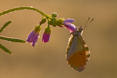 Orange Tip (Anthocharis cardamines) butterfly male on flower, Tatra National Park, Poland  -  Adri Hoogendijk/ Buiten-beeld