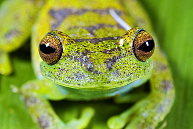 Cloud Forest Tree Frog (Hyla pellucens) portrait, western slope of the Andes Cloud Forest, Mindo, Ecuador  -  James Christensen