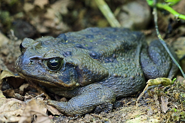 Cane Toad (Bufo marinus) at rest during the day, western slope of the Andes Cloud Forest, Mindo, Ecuador  -  James Christensen