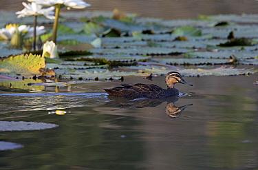 Pacific Black Duck (Anas superciliosa) swimming, Papua New Guinea  -  Otto Plantema/ Buiten-beeld