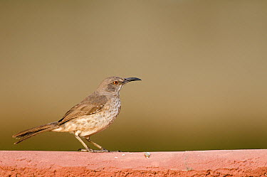 Curve-billed Thrasher (Toxostoma curvirostre) on top of a brick wall, Texas  -  Marcel van Kammen/ NiS