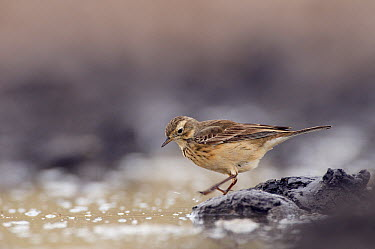 American Pipit (Anthus rubescens) at water'e edge, Texas  -  Marcel van Kammen/ NiS