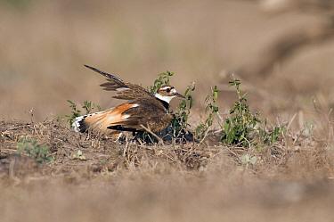 Killdeer (Charadrius vociferus) broken wing display, Texas  -  Marcel van Kammen/ NiS