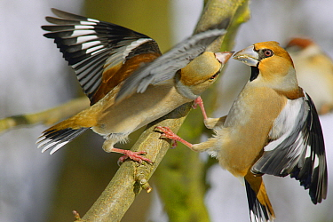Hawfinch (Coccothraustes coccothraustes) pair quarreling, Lower Saxony, Germany  -  Duncan Usher