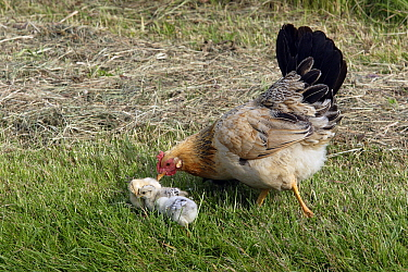 Domestic Chicken (Gallus domesticus) hen foraging with chicks, Texel, Netherlands  -  Duncan Usher