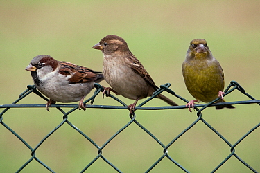 House Sparrow (Passer domesticus) male and female on garden fence next to a European Greenfinch (Chloris chloris), Lower Saxony, Germany  -  Duncan Usher