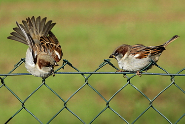 House Sparrow (Passer domesticus) males fighting on a garden fence, Lower Saxony, Germany  -  Duncan Usher