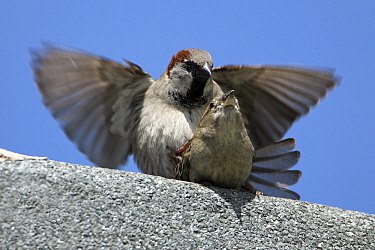 House Sparrow (Passer domesticus) pair mating, Northumberland, United Kingdom  -  Duncan Usher