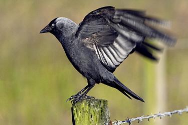 Eurasian Jackdaw (Corvus monedula) landing on fence post, Texel, Netherlands  -  Duncan Usher