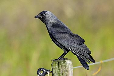 Eurasian Jackdaw (Corvus monedula) on fence post, Texel, Netherlands  -  Duncan Usher