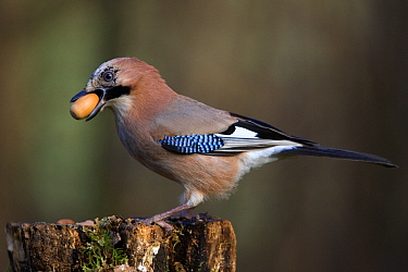 Eurasian Jay (Garrulus glandarius) with acorn in beak, Lower Saxony, Germany  -  Duncan Usher