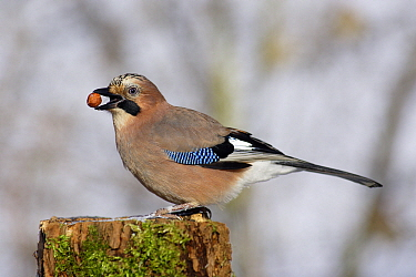 Eurasian Jay (Garrulus glandarius) with hazelnut in beak, Lower Saxony, Germany  -  Duncan Usher