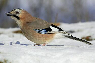 Eurasian Jay (Garrulus glandarius) in snow, Lower Saxony, Germany  -  Duncan Usher