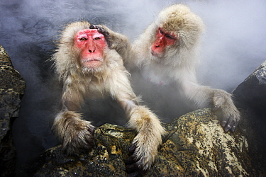 Japanese Macaque (Macaca fuscata) pair grooming in hot spring, Jigokudani, Japan  -  Jasper Doest