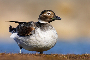 Long-tailed Duck (Clangula hyemalis) female, Svalbard, Norway  -  Jasper Doest
