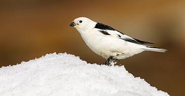 Snow Bunting (Plectrophenax nivalis), Svalbard, Norway  -  Jasper Doest