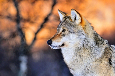 Gray Wolf (Canis lupus), Norway  -  Jasper Doest