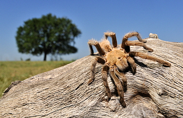 Texas Brown Tarantula (Aphonopelma hentzi), George West, Texas  -  Jasper Doest