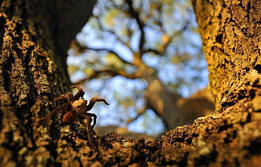 Texas Brown Tarantula (Aphonopelma hentzi) on tree trunk, George West, Texas  -  Jasper Doest