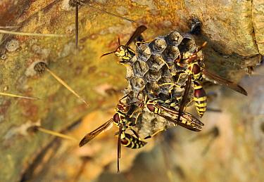 Common Paper Wasp (Polistes exclamans) group building nest, Texas  -  Jasper Doest
