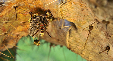 Common Paper Wasp (Polistes exclamans) group building nest on a cactus, Texas  -  Jasper Doest
