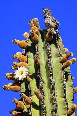 Cactus Wren (Campylorhynchus brunneicapillus) singing atop Cardon (Pachycereus pringlei) cactus, El Vizcaino Biosphere Reserve, Mexico  -  Cyril Ruoso