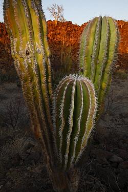 Indian Comb (Pachycereus pectenaboriginum) cacti in lava field of the Volcan de las Virgenes, El Vizcaino Biosphere Reserve, Mexico  -  Cyril Ruoso