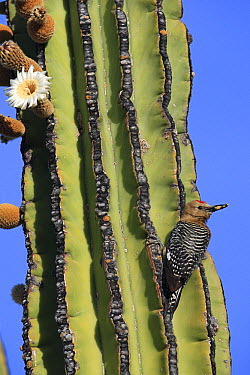 Gila Woodpecker (Melanerpes uropygialis) on Cardon (Pachycereus pringlei) cactus, El Vizcaino Biosphere Reserve, Mexico  -  Cyril Ruoso