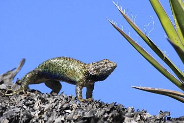 Desert Spiny Lizard (Sceloporus magister) in defensive posture, El Vizcaino Biosphere Reserve, Mexico  -  Cyril Ruoso
