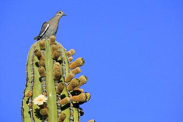 White-winged Dove (Zenaida asiatica) on flowering Cardon (Pachycereus pringlei) cactus, El Vizcaino Biosphere Reserve, Mexico  -  Cyril Ruoso