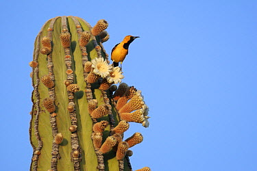 Hooded Oriole (Icterus cucullatus) on flowering Cardon (Pachycereus pringlei) cactus, El Vizcaino Biosphere Reserve, Mexico  -  Cyril Ruoso