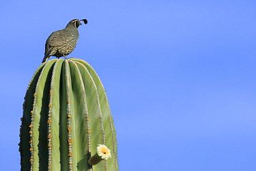 Gambel's Quail (Callipepla gambelii) perched on cactus, El Vizcaino Biosphere Reserve, Mexico  -  Cyril Ruoso