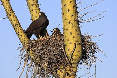 Harris' Hawk (Parabuteo unicinctus) pair in nest built in cactus, El Vizcaino Biosphere Reserve, Mexico  -  Cyril Ruoso