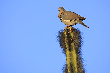 White-winged Dove (Zenaida asiatica) atop cactus, El Vizcaino Biosphere Reserve, Mexico  -  Cyril Ruoso