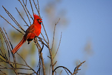 Northern Cardinal (Cardinalis cardinalis) male singing, El Vizcaino Biosphere Reserve, Mexico  -  Cyril Ruoso