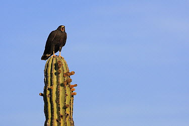 Harris' Hawk (Parabuteo unicinctus) calling from atop cactus, El Vizcaino Biosphere Reserve, Mexico  -  Cyril Ruoso