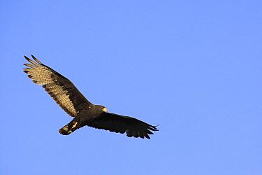 Harris' Hawk (Parabuteo unicinctus) flying, El Vizcaino Biosphere Reserve, Mexico  -  Cyril Ruoso