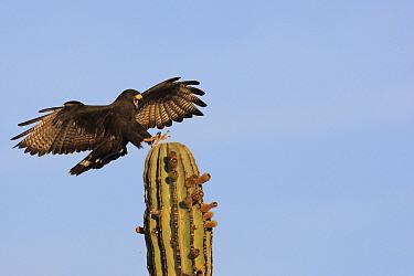 Harris' Hawk (Parabuteo unicinctus) landing on a cactus, El Vizcaino Biosphere Reserve, Mexico  -  Cyril Ruoso