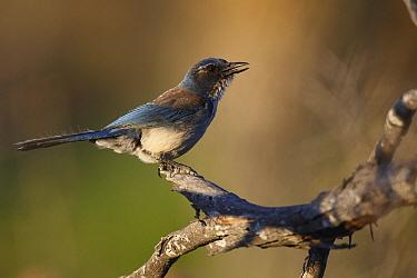 Western Scrub-Jay (Aphelocoma californica) calling, El Vizcaino Biosphere Reserve, Mexico  -  Cyril Ruoso