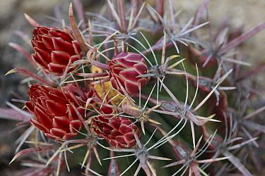 Fishhook Barrel Cactus (Ferocactus wislizenii) flowers, El Vizcaino Biosphere Reserve, Mexico  -  Cyril Ruoso