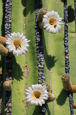 Cardon (Pachycereus pringlei) cactus flowers and bees, El Vizcaino Biosphere Reserve, Mexico  -  Cyril Ruoso
