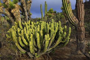 Cactus (Myrtillocactus cochal) in desert landscape, El Vizcaino Biosphere Reserve, Mexico  -  Cyril Ruoso