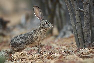 Black-tailed Jackrabbit (Lepus californicus), El Vizcaino Biosphere Reserve, Mexico  -  Cyril Ruoso
