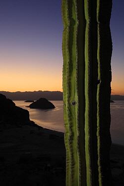 Indian Comb (Pachycereus pecten-aboriginum) and the Sea of Cortez at sunset, El Vizcaino Biosphere Reserve, Mexico  -  Cyril Ruoso